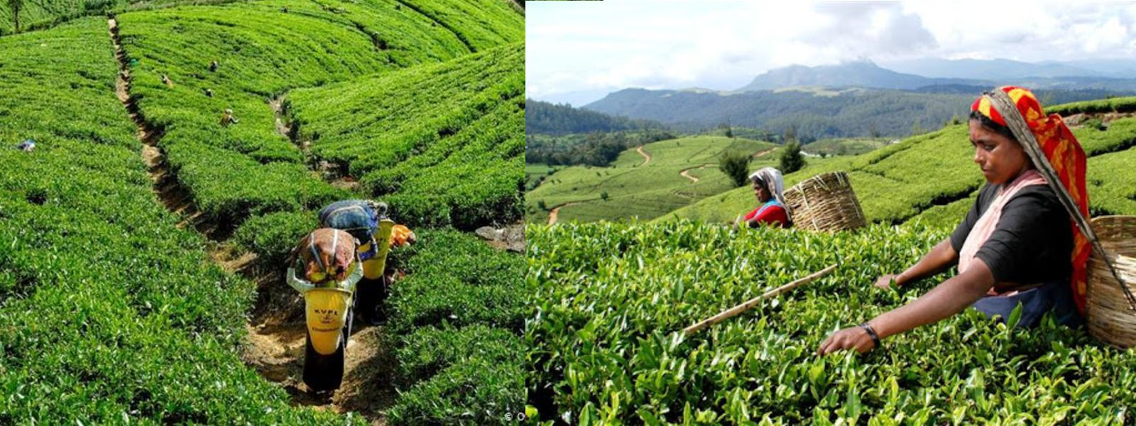 Plantation workers daily wage increased to Rs. 1000/-