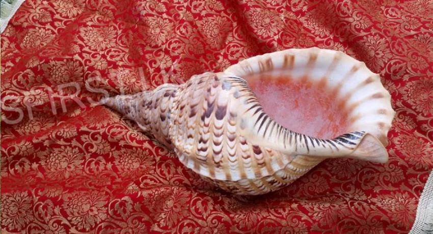 SIX ARRESTED OVER ATTEMPTED SALE OF CONCH SHELL
