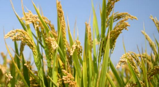 Yala season: 400,000 hectares of paddy to be cultivated