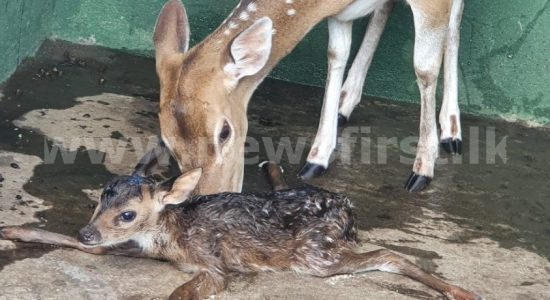 (VIDEO) Navy rescues drowning deer in Tricomalee; gives birth to offspring
