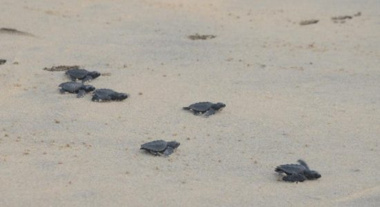 Navy turtle conservation project releases 78 sea turtle hatchlings