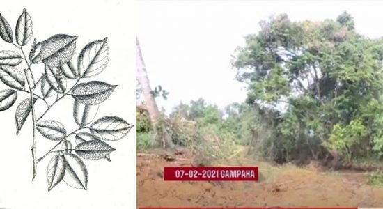 Forest Dept. calls for info on other Crudia Zeylanica trees