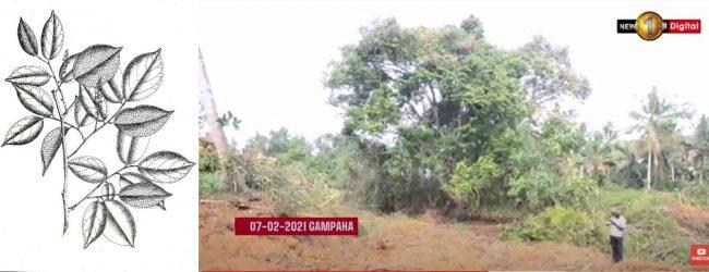 Environmentalists oppose relocating sole surviving Crudia zeylanica tree