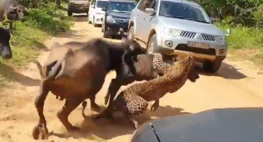 Caught on Camera; Buffalos show might against hungry leopard