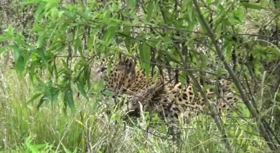 (VIDEO) Bopathalawa leopard rescued and taken for treatment