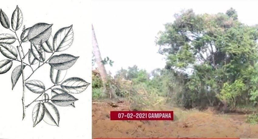 Crudia zeylanica tree in danger?