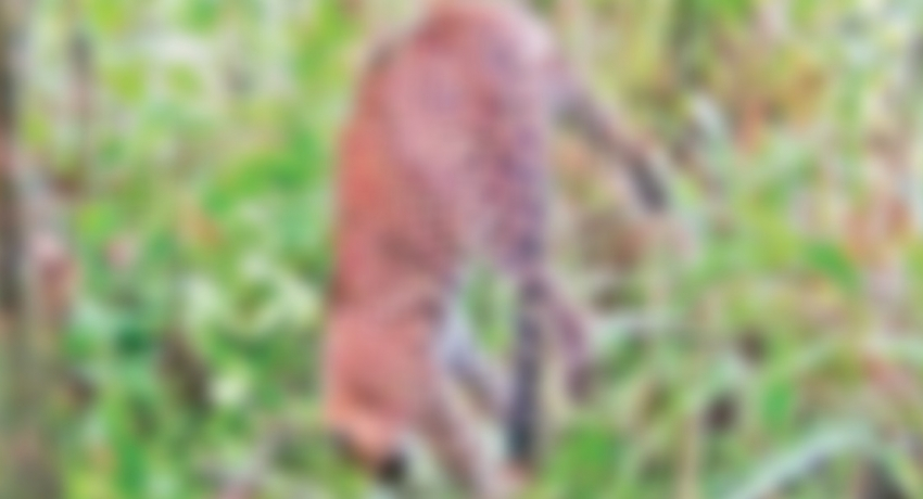 (VIDEO) Leopard trapped in a snare in Agarapathana