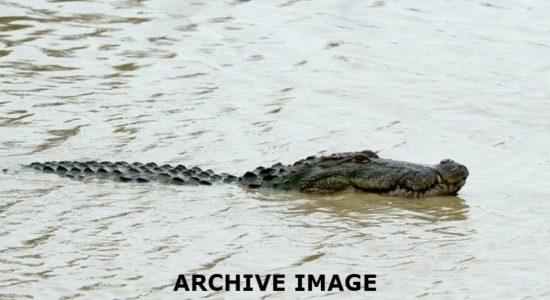 (VIDEO) Monster Crocodile captured from Sri Lankan River