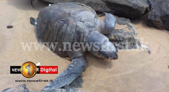Endangered Dead Sea-Turtles keep washing ashore in Sri Lanka.