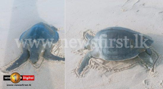 Sri Lanka to send dead sea turtle samples overseas to determine exact cause of death