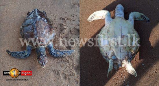 Dead sea turtles wash up on Batticaloa beach; concerns mount over X-Press Pearl