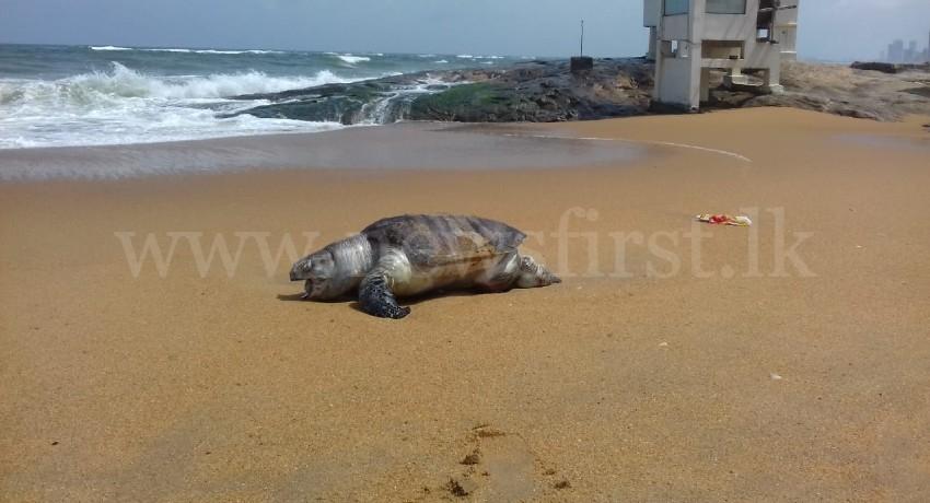 Dead Sea-Turtles wash up on Sri Lankan shoreline