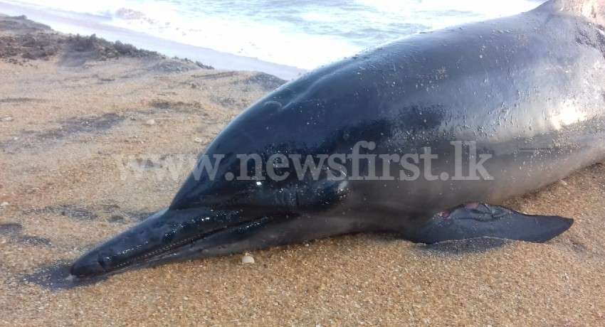 Dead Sea Turtles & Dolphins continue to wash up on Sri Lanka's shores