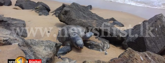 Around 150 dead Sea Turtles washed ashore since X-PRESS PEARL disaster