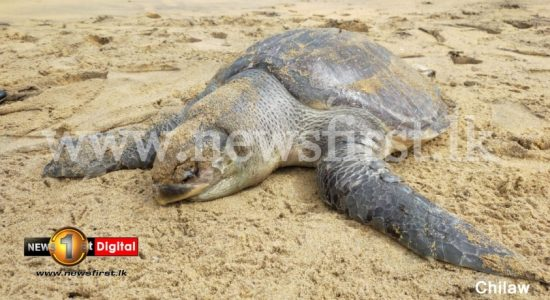 Dead whales, turtles & dolphins wash up on SL shores; Activists warn numbers could rise