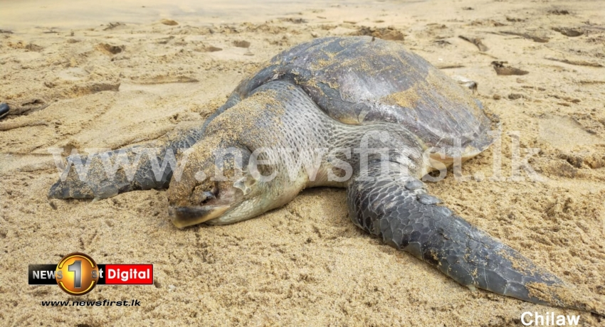 (PICTURES) 04 more dead sea turtles washed up on Sri Lankan shores