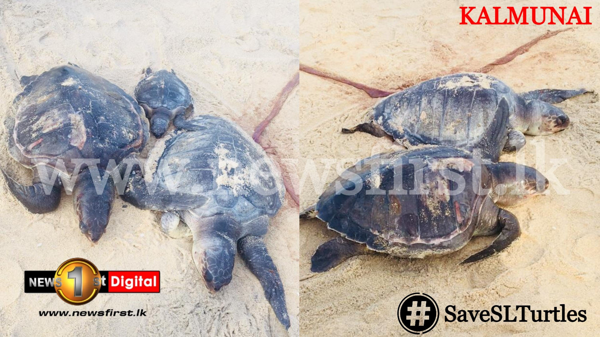 Red Flags raised as dead sea turtles and dolphins continue to wash up on Sri Lankan shores