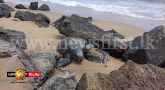 Around 50 dead sea turtles washed ashore since MV X-PRESS PEARL disaster
