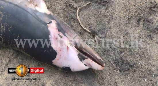 (PICTURES) Another dead dolphin washed up on SL shores
