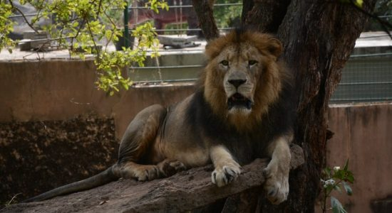 COVID-19 Tests for Zoo animals in Sri Lanka