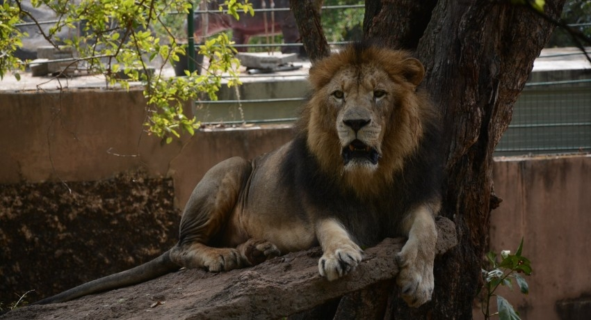 Lion at Dehiwala Zoo tests COVID positive; Immediate treatment being provided