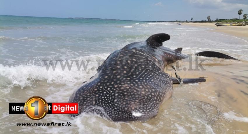 Large Whale Shark washes up on Sri Lanka's east coast
