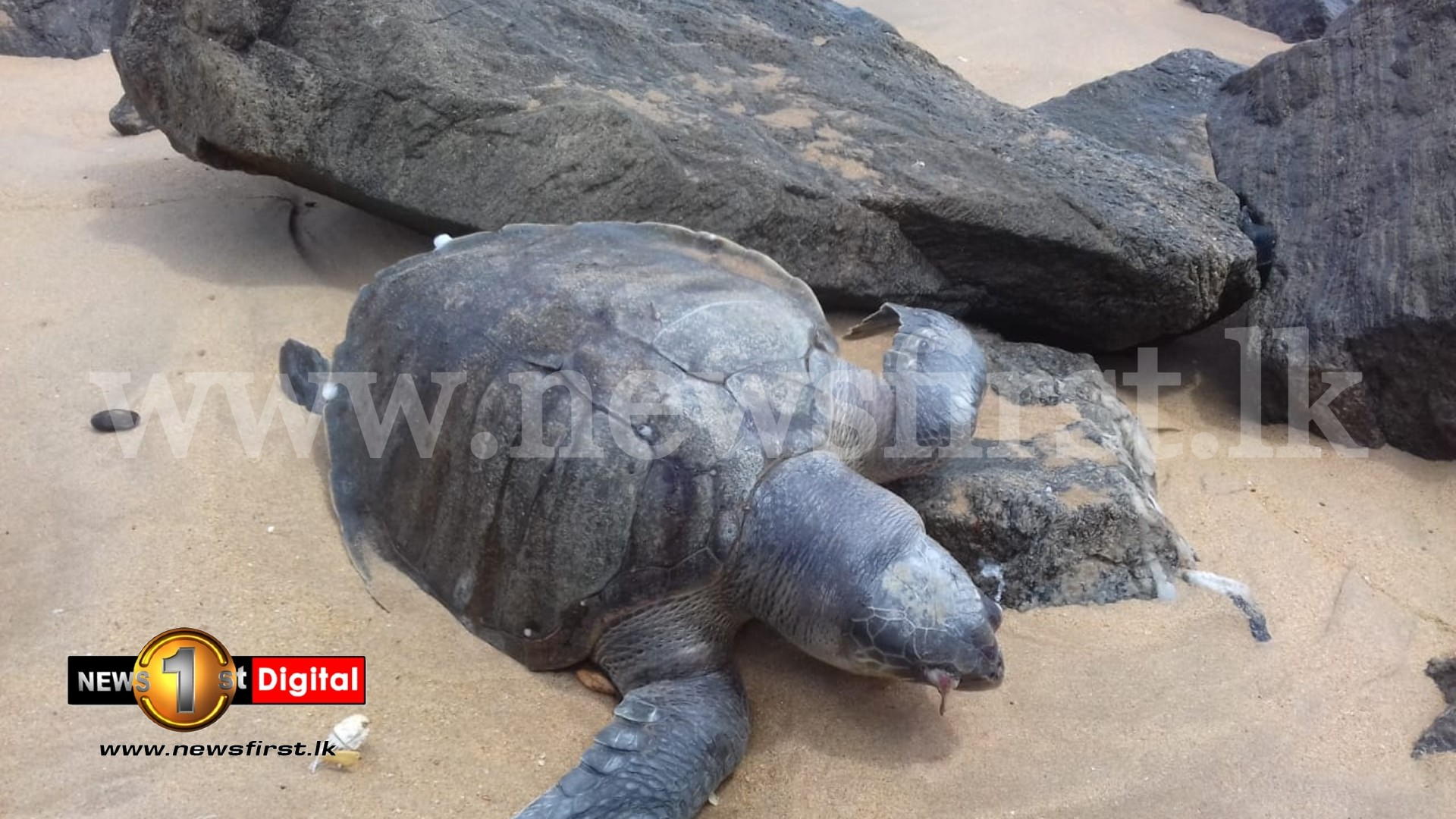 Plastic resin pellet pollution also cause for sea turtles to die in SL waters ; Experts