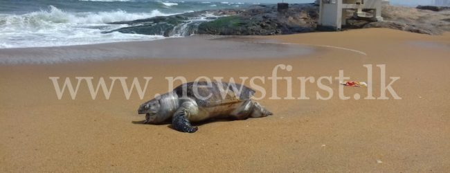 17 dead Sea Turtles & 03 Dolphins washed ashore so far
