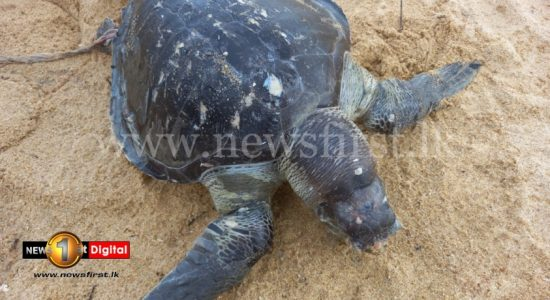 (PICTURES) Dead Sea Turtles Continue To Wash Up On Sri Lankan Shores