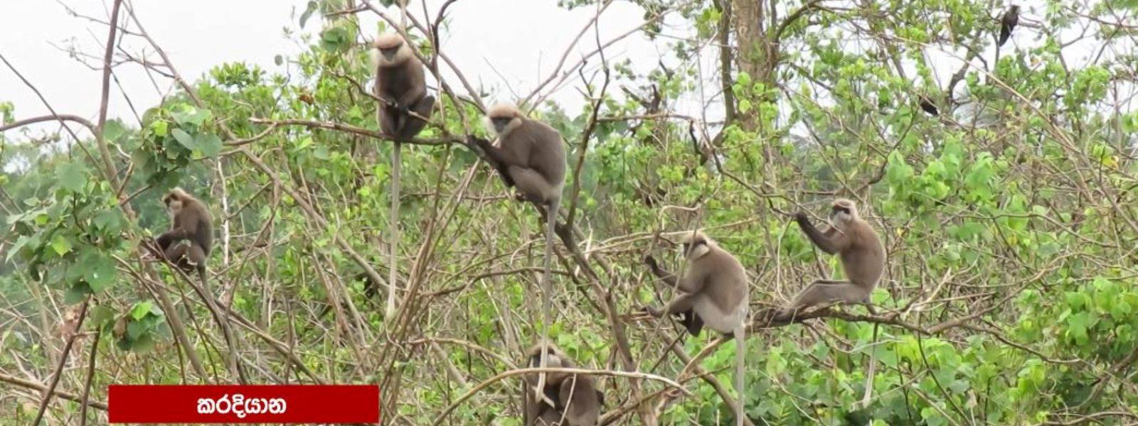 The Monkeys of Karadiyana : Endangered & threatened with starvation