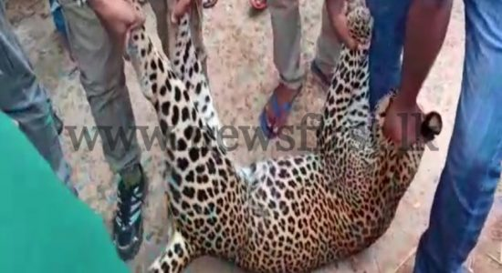 Leopard found dead trapped in a snare in Hasalaka