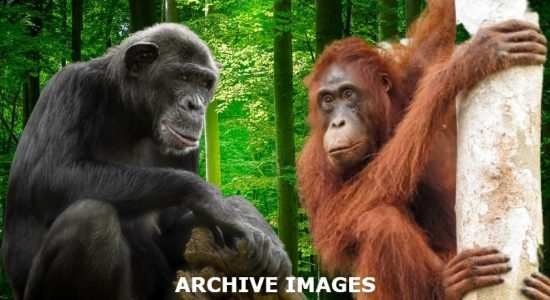 Chimpanzees & Orangutans at Dehiwala Zoo test COVID positive