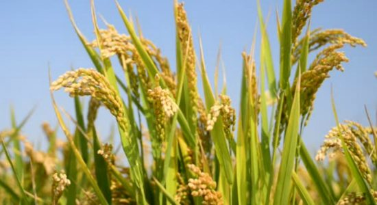 Rice Mill Owners agree to purchase paddy at government prices