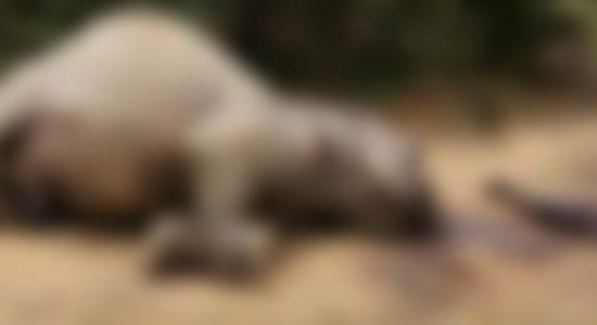 Killing & Dismembering Yala Elephant : One suspect arrested
