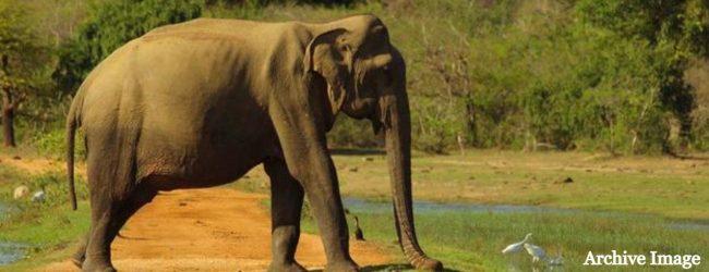 (VIDEO) Lone Wild Elephant terrorizes locals in Ampara