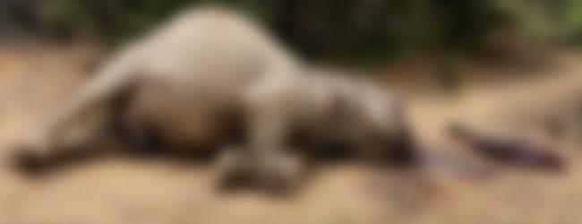 Dismembered remains of elephant found inside Yala Block 3.