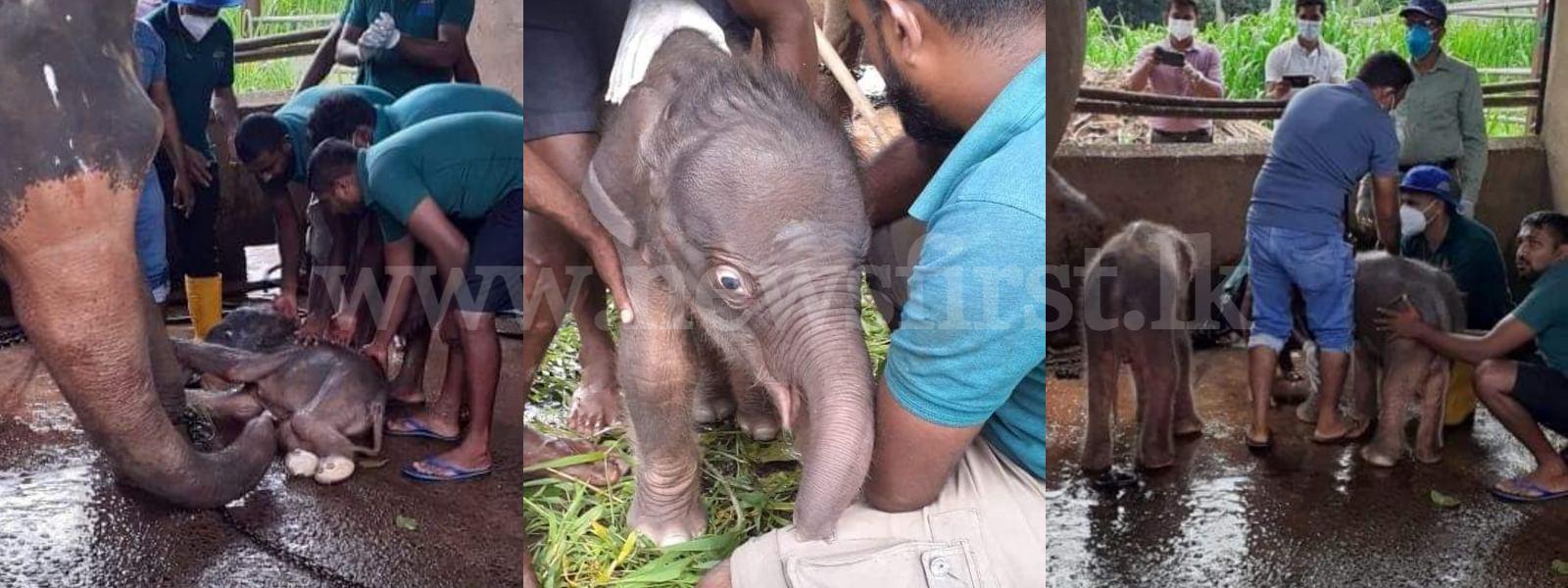 Elephant gives birth to twins at Pinnawala Elephant Orphanage