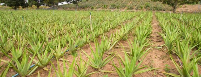 Over 100,000 acres to be leased for Aloe Vera Project