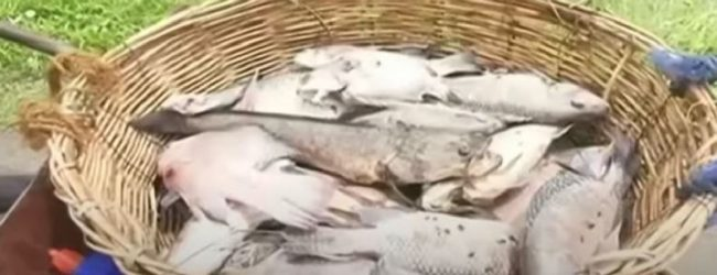 Hundreds of dead fish wash up on the banks of the Kurunegala Wewa