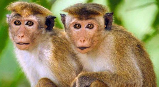 Monkey helps foil treasure hunters