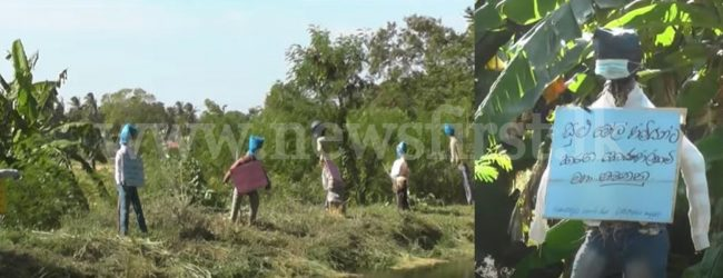 Scarecrows deployed to protest paddy prices