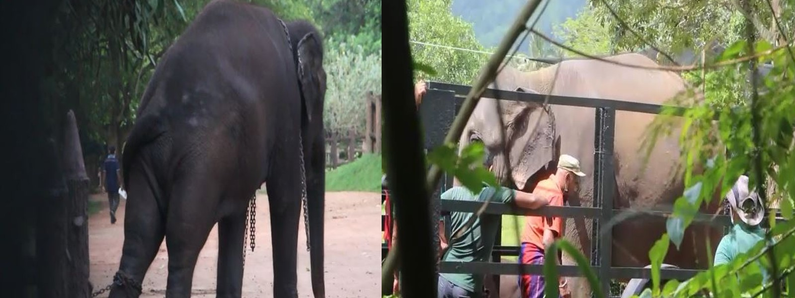 Another elephant held in Pinnawala released