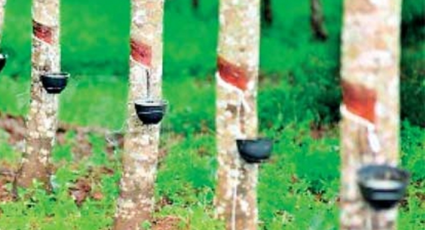 Rubber to be cultivated across 1,000 hectares in Moneragala