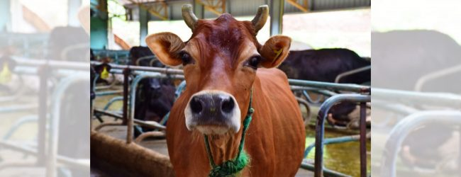 Cabinet approves draft bills on prohibiting cattle slaughter