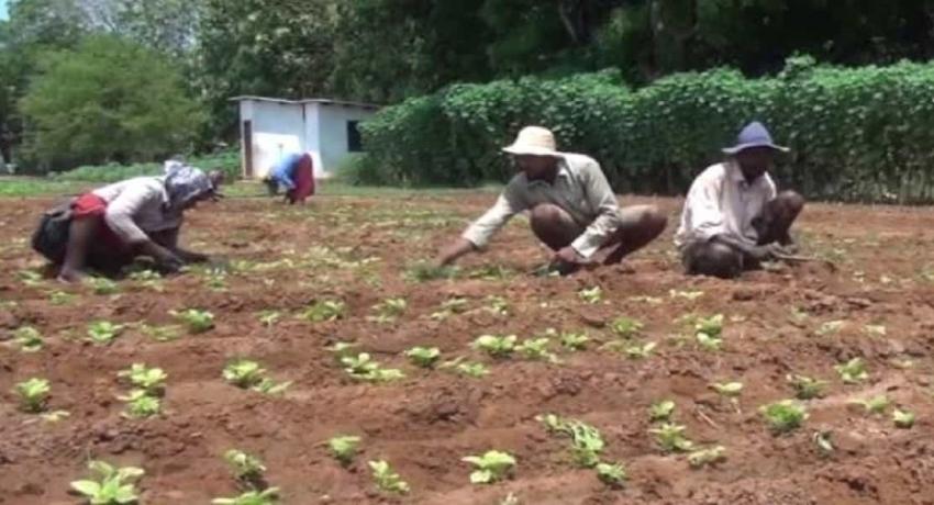 யாழ். மாவட்டத்தில் இன்னல கிழங்கு செய்கை வெற்றியளித்துள்ளது
