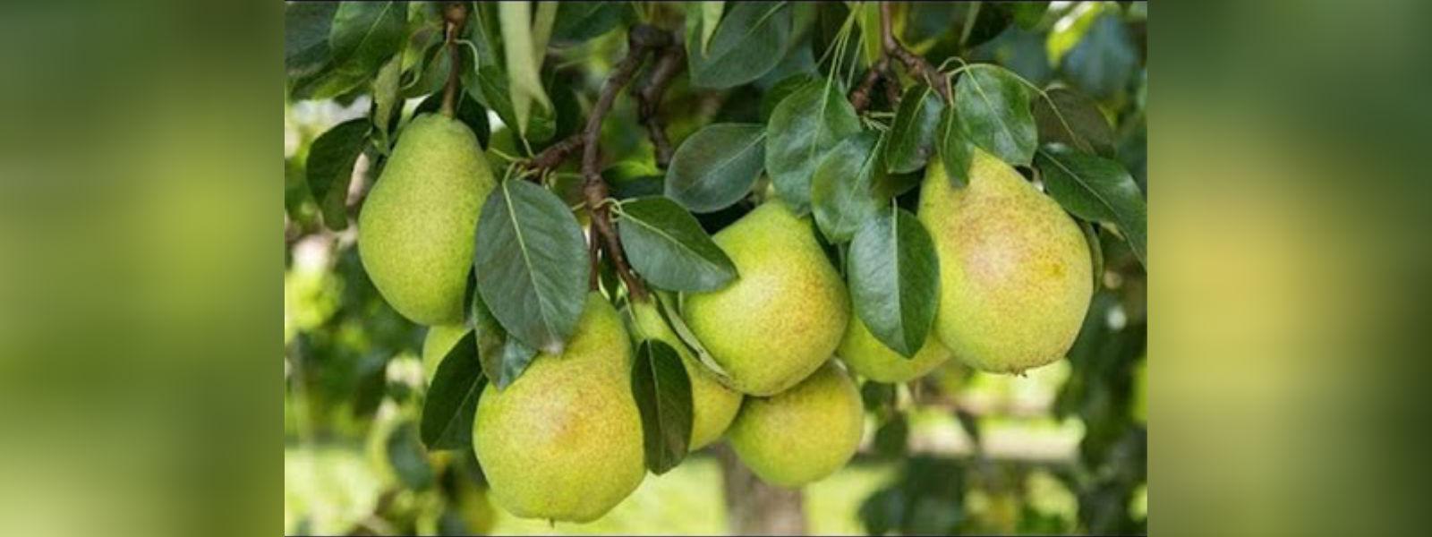 நுவரெலியாவில் Pears செய்கையை விஸ்தரிக்க நடவடிக்கை