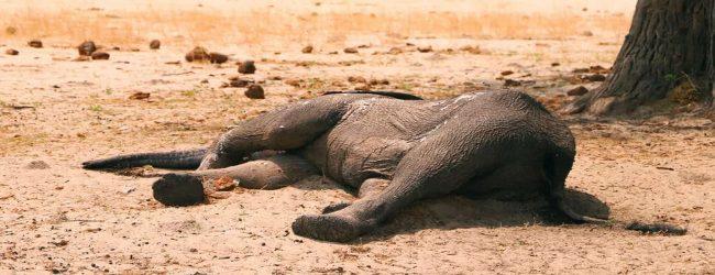 சிம்பாப்வேயில் வறட்சியால் உயிரிழந்த யானைகளின் எண்ணிக்கை 200 ஆக அதிகரிப்பு