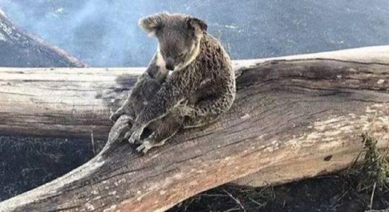 அவுஸ்திரேலிய காட்டுத்தீயில் சிக்கி 2000 கோலா கரடிகள் உயிரிழப்பு
