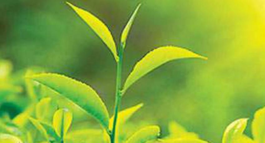 தேயிலைக் கொழுந்தின் விலை அதிகரிப்பு