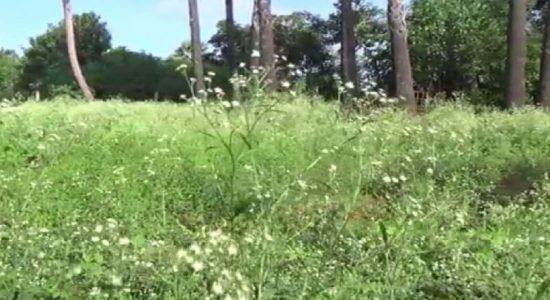வட மாகாணத்தை ஆக்கிரமித்துள்ள பார்த்தீனியக் களை
